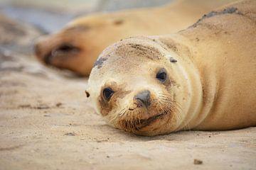jonge zeeleeuw op strand van San Diego Californië Amerika van My Footprints