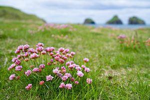 Engels gras op de Westman eilanden, IJsland