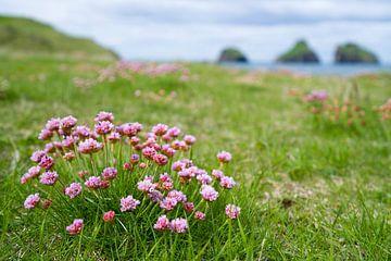 Engels gras op de Westman eilanden, IJsland van Joep de Groot