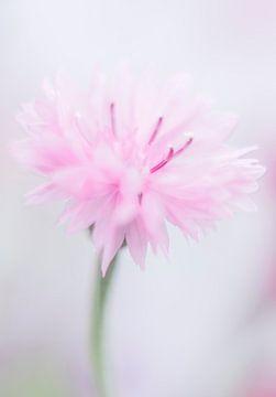 Korenbloem in zacht roze van Minie Drost