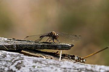 libelle op dode tak van Bas Maas