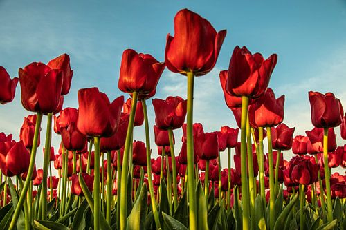 Nederlands tulpenveld.