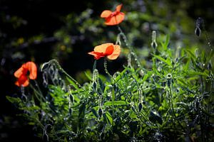 Mohnblumen mit Regentropfen in der Sonne von Sabina Meerman