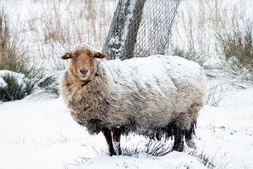 Schaap in de sneeuw