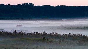 Schotse Hooglander in mist landschap