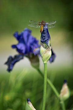 Libelle von Linda Lu
