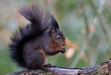 Rotes Eichhörnchen von Roos Piek