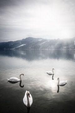 Schwäne an einem schönen Wintermorgen auf dem Ossiacher See in Kärnten, Österreich von Bas Meelker