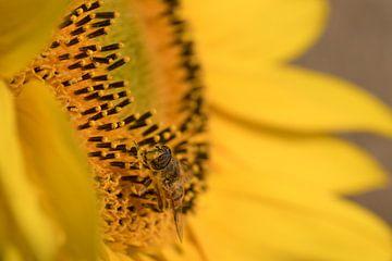 Insekt auf Sonnenblume von Moetwil en van Dijk - Fotografie