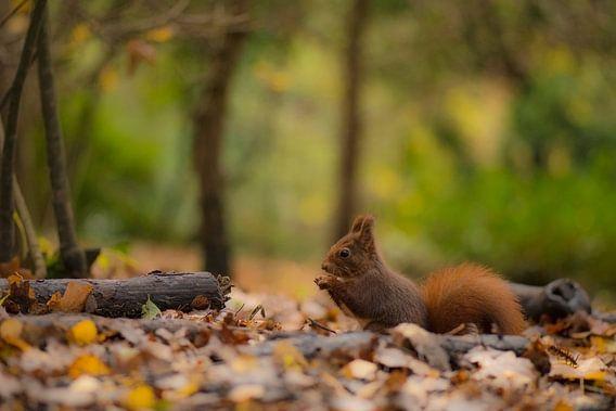 Eekhoorn in het bos.  van Francis Dost