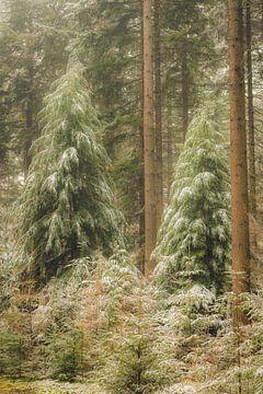 Kiefern im Speulderbos-Wald im Naturschutzgebiet Veluwe im Winter von Sjoerd van der Wal