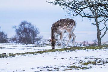 Damhert met zonsondergang in de sneeuw van Anne Zwagers
