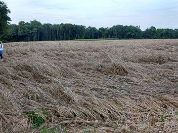 Een platgeslagen korenveld na de eerste overnachting von