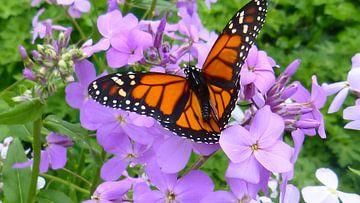Oranje met zwart vlinder in harskamp van Wilbert Van Veldhuizen