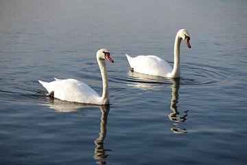 Prachtige witte zwanen van Daniëlle van der meule