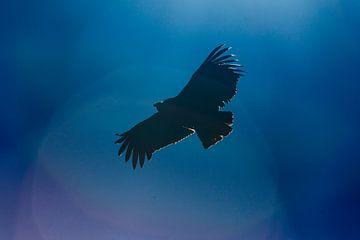 Vliegende Condor in Peru sur