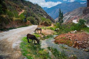Grazend vee in de berm van een bergweg in de Heilige Vallei, Peru