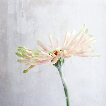 Rosa von M Duizendstra