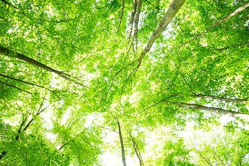 Riesige Baumkronen von Oliver Henze