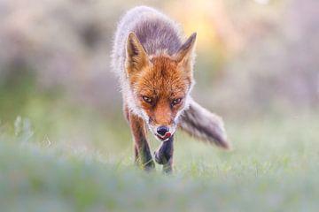 renard affamé sur