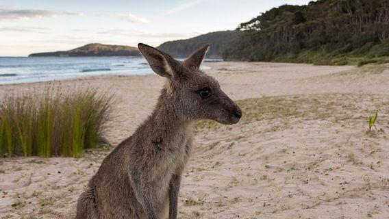 Kangoeroe op Pebbly Beach