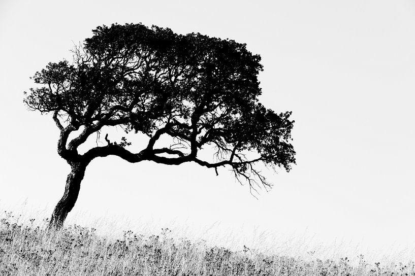 Corsican Tree sur Cor Ritmeester