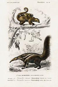 Pygmy anteater (Cyclopes didactylus) and Giant anteater (Myrmecophaga tridactyla) von Heinz Bucher