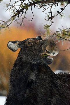 funny... Moose *Alces alces* van wunderbare Erde
