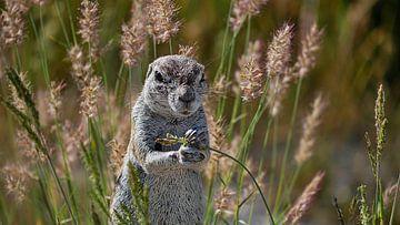 De borstel eekhoorn krijgt de smaak te pakken