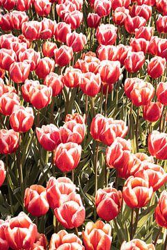 Rote Tulpen im Frühling von Henrike Schenk