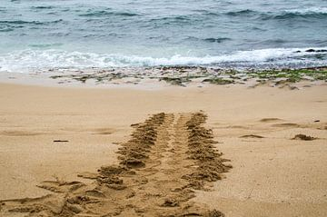 Hawaiian green sea turtle track von