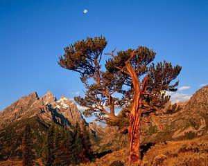 Oeroude Stoppelden (Pinus aristata), de iconische Old Patriarch van het Grand Teton National Park, W van