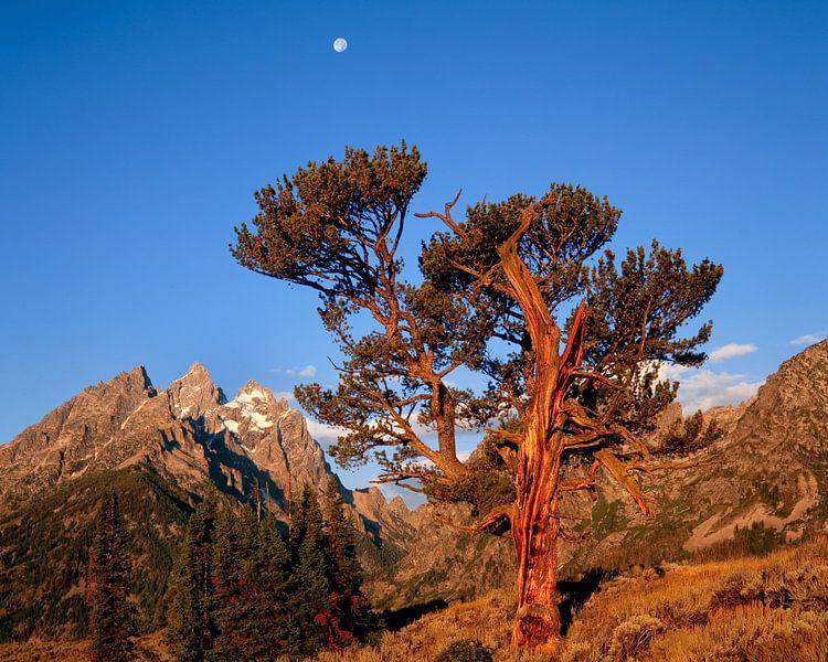 Oeroude Stoppelden (Pinus aristata), de iconische Old Patriarch van het Grand Teton National Park, W van Nature in Stock