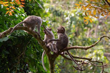 Apen van Jeroen Meeuwsen