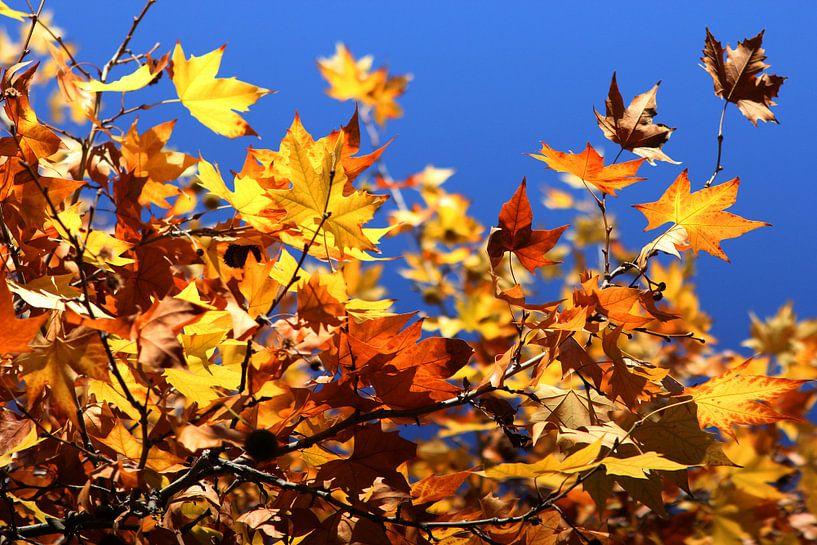 Colorful leaves sur Cornelis (Cees) Cornelissen