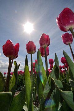 Tulpen met tegenlicht van Frouwkje Fotografie