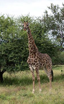 een giraffe in krugerpark van