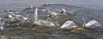Witte zwanen van Christine Nöhmeier