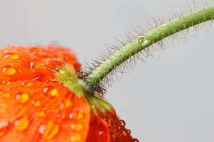 Oranje klaproos