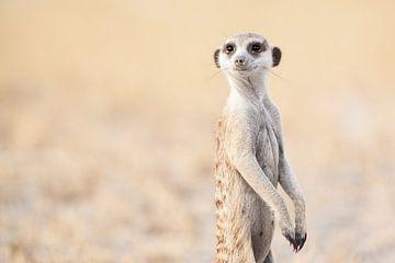 Meerkat in Botswana von Simone Janssen