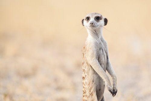Stokstaartje op de uitkijk in Botswana van Simone Janssen