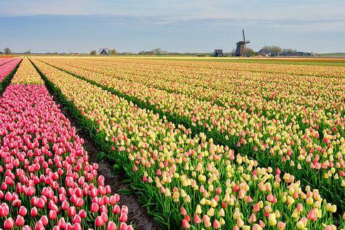 molen tussen de bloeiende tulpen van