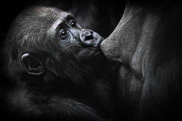 Close-up van een babygorilla die gulzig de tieten van zijn moeder naar achteren trekt terwijl ze mel van Michael Semenov