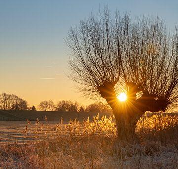 Warm zonlicht tussen een knotwilg von Michel Knikker