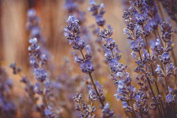 Lavendel van Mi Vidas Fotografie