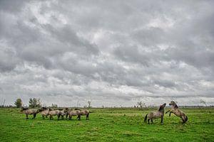 Konikpaarden Oostvaardersplassen van