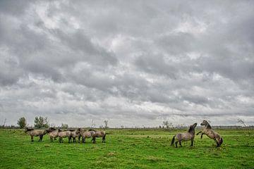 Konikpaarden Oostvaardersplassen van Ruud van der Lubben