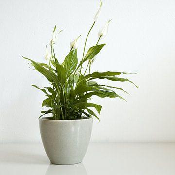 spathiphyllum 1 van Hetty Oostergetel