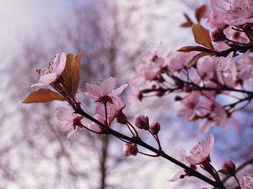 Blüten der Blutpflaume von Lea-Marie Littwin