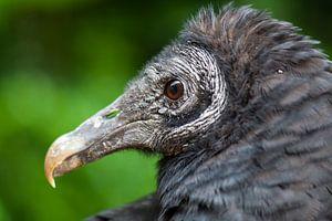 Portret zwarte gier.
